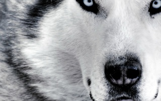 Next: Husky up close