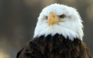 Bald eagle watching wallpapers and stock photos