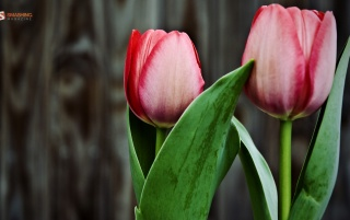 Blooming tulips wallpapers and stock photos