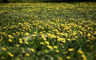Next: Field of Dandelions