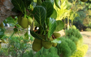 JackFruit wallpapers and stock photos