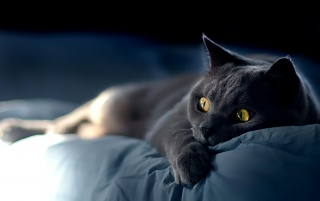 Cat on blue sheets wallpapers and stock photos