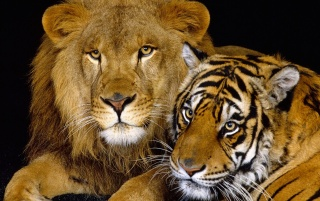 Lion and tiger wallpapers and stock photos