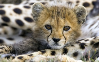 Cute cheetah cub wallpapers and stock photos