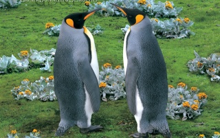 King Penguins, Falkland Island wallpapers and stock photos
