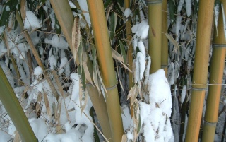 Random: bamboo in snow