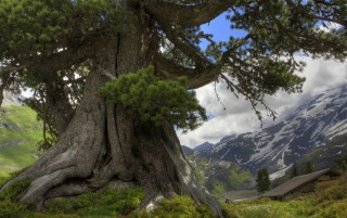 Enormous tree wallpapers and stock photos