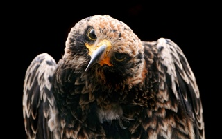 Hawk study wallpapers and stock photos