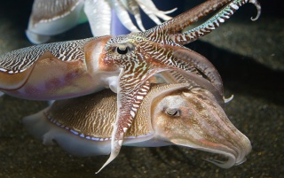 Cuttlefish wallpapers and stock photos