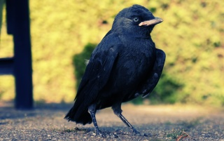 Black bird wallpapers and stock photos