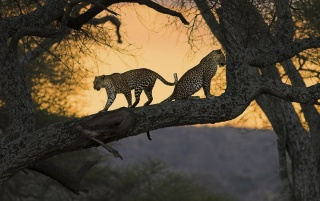 Leopards wallpapers and stock photos