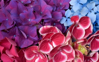 Hydrangeas wallpapers and stock photos