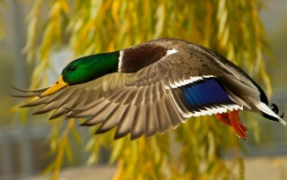 Wild Duck wallpapers and stock photos
