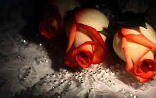 Roses wallpapers and stock photos