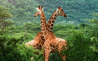 Giraffe Friends wallpapers and stock photos