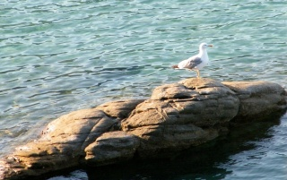 Random: Seagull on rock