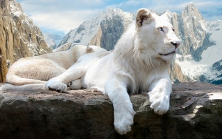 White Lions wallpapers and stock photos