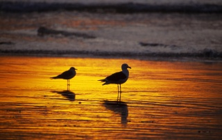 Seagulls at dawn wallpapers and stock photos