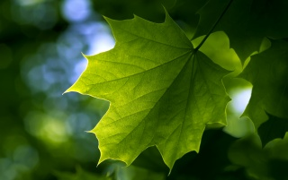 Maple Leaf wallpapers and stock photos