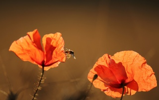 Red Poppy & Summer Sunshine wallpapers and stock photos