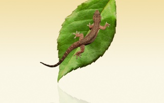 Lizard and leaf wallpapers and stock photos