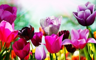 Tulips in spring wallpapers and stock photos