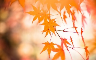 Red Autumnal Leaves wallpapers and stock photos