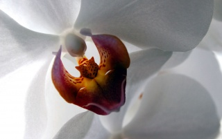 White Orchid Ubuntu wallpapers and stock photos