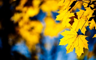 Yellow leafs wallpapers and stock photos
