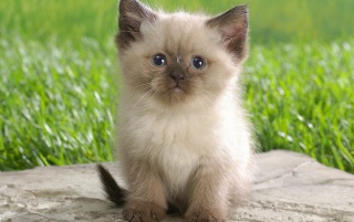 Cute Himalayan Kitten wallpapers and stock photos