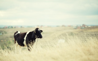 Cow on a field wallpapers and stock photos