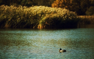 Duck on a lake wallpapers and stock photos