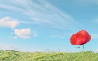 Poppy wallpapers and stock photos