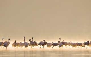 Mac OS X Flamingos wallpapers and stock photos