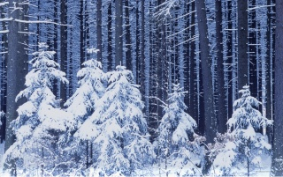 Snowy Trees wallpapers and stock photos