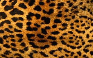 Leopard Fur wallpapers and stock photos
