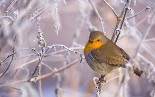 Winter Bird wallpapers and stock photos