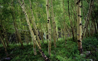 Birch forest wallpapers and stock photos