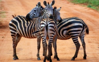 Zebras wallpapers and stock photos