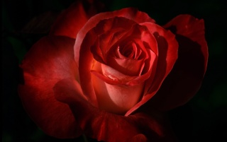 Red Rose wallpapers and stock photos