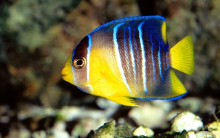 Blue Angelfish wallpapers and stock photos
