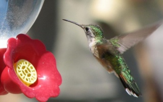 Next: Green Hummingbird