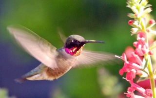 Pink Hummingbird wallpapers and stock photos