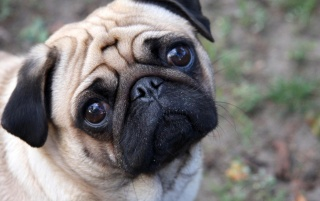 Cute Pug wallpapers and stock photos