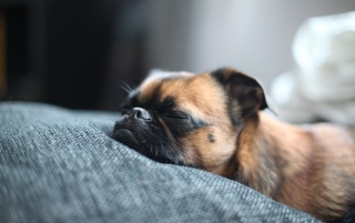 Brown Pug Sleeping wallpapers and stock photos