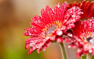 Red flower wallpapers and stock photos