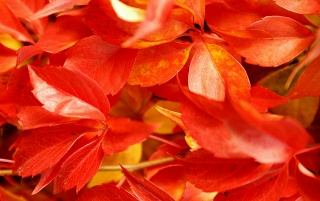 Previous: Red leaves