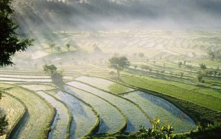 Bali Rice Fields wallpapers and stock photos