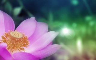 Pink Lotus wallpapers and stock photos