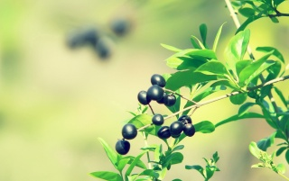 Wild Berries wallpapers and stock photos